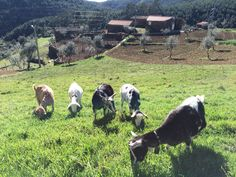 Portuguese Goats!!!