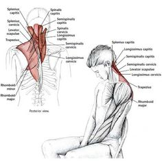 Common Neck & Shoulder Stretching Exercises AND Additional Stretches for various muscles Shoulder Stretching Exercises, Neck And Shoulder Stretches, Neck Exercises, Easy Stretches, Neck And Shoulder Pain, Neck Pain, Neck Stretches, Muscle Anatomy, Trigger Points