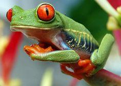 Rana de ojos rojos  Agalychnis callidryas  Red-eyed Tree Frog