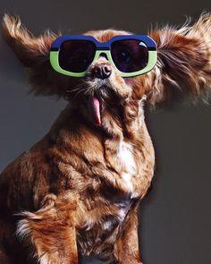 Rescue dog Toast modelling Karen Walker's new eyewear.