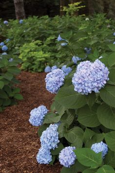 Beautify your landscape with Endless Summer® Hydrangeas! Unlike typical hydrangeas, this collection constantly re-blooms, providing you with incredible color from spring through fall.