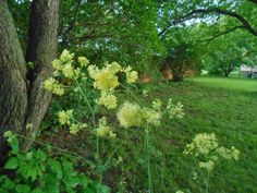 Sproutsandstuff: What's blooming in June-Thalictrum flavum ssp glaucum  http://sproutsandstuff.blogspot.co.uk/p/blog-page_2240.html
