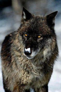 Vive les loups.
