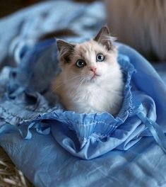 Cat ownership can be one of the best experiences in the world, but are you ready to own a cat? Here are a few things you should consider before you adopt. Cute Kittens, Baby Kittens, Little Kittens, Ragdoll Cats, Animals And Pets, Baby Animals, Cute Animals, Owning A Cat, Cat Boarding