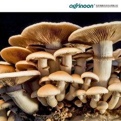 Fungi Perfecti Mushroom farm - 5 Types of Medicinal Mushrooms and How They Boost Health Garlic Mushrooms, Stuffed Mushrooms, Growing Mushrooms At Home, Thyroid Diet, Meat Substitutes, Oil Spill, Mushroom Fungi, Oysters, Health Benefits