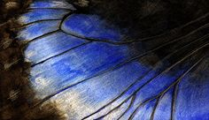 Blue Morpho Butterfly Wing - Elecric Blue Watercolor Painting Archival Giclee Art Print