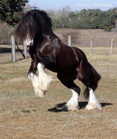 Twister- Gypsy Stallion