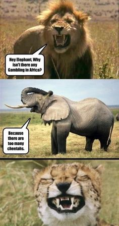 Animal Jokes:  Hey elephant, why isn't there any gambling in Africa? Because there are too many cheetahs.   #NWF #AnimalJokes #Wildlife
