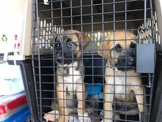 Wings of Rescue is on the ground in San Juan Puerto Rico. We are about to start loading our precious cargo of 150 dogs and cats. We have unloaded 2 1/2 tons of humanitarian supplies and now for the fun part! We are going to race the stork with a very pregnant Shepherd and high tail it to Morristown New Jersey. This flight is sponsored by you and our awesome partners GreaterGood Freekibble.com rescue Bank and HSUS. If you want to keep us in the air saving pets from Hurricane Maria please…