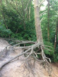 The soil eroded from under this tree and now its just supported by its roots.