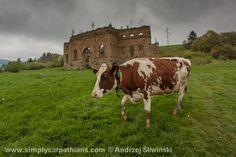 Crazy cow by the old ironworks in Slovak Orava. ;) www.simplycarpathians.com