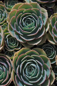 Hens and Chicks - pattern
