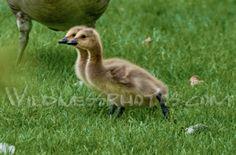 Canada Goose Goslings 1