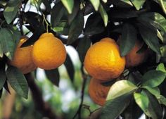 The right companion plantings for lemon trees reduce the need for excess chemical fertilizers and pesticides. Companion plantings serve as both an extra protection and a source of nutrition for your lemon trees, enabling you to garden more organically while taking steps to increase fruit production.