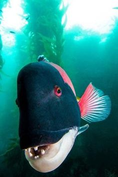Sheephead Wrasse. by divindk by Divonsir Borges