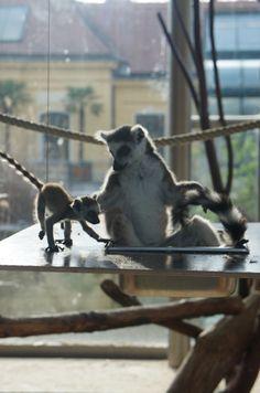 Ring-tailed lemur, zoo of Vienna, Austria. Vienna Austria, Lemur, Kangaroo, Old Things, Ring, World, Animals, Beautiful, Baby Bjorn