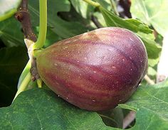 Planting and maintaining fig trees.