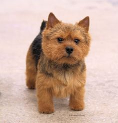 Norwich terrier - I took a quiz and was told this is the type of dog I should get. Cutie <3