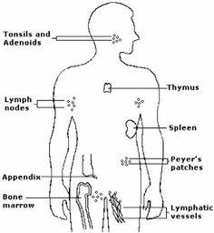 immune organs - organs of the immune system