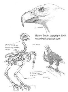 Bald Eagle study 01 by Baron-Engel on DeviantArt Bird Drawings, Cartoon Drawings, Animal Drawings, Animal Sketches, Drawing Sketches, Anatomy Sculpture, Eagle Drawing, Eagle Art, Anatomy Drawing