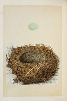 Alpine Accentor Nest & Eggs Reverend Morris 1800s by PaperPopinjay