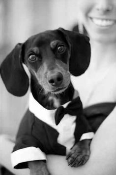 Dachshund in a Bow Tie - Black  White