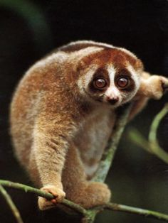 Slow lorises are a group of five species of strepsirrhine primates which make up the genus Nycticebus. Found in South and Southeast Asia, they range from Bangladesh and Northeast India in the west to the Philippines in the east, and from the Yunnan province in China in the north to the island of Java in the south.