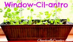 how to grow Cilantro in your window