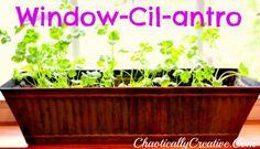 Growing_Cilantro_Indoors