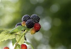 Cancer-Fighting Black Raspberries are a Summer Treat