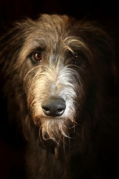 Scottish Deer Hound by Unni K, via Flickr