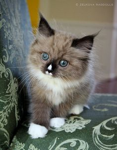 Zelkova Ragdolls | Charlotte NC Kittens