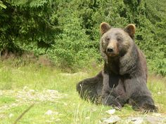 See related links to what you are looking for. Brown Bear, Ukraine, Animals, Animales, Animaux, Animal, Animais