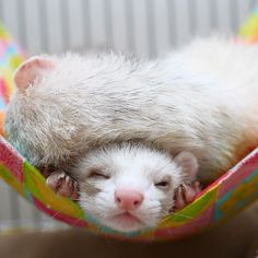 873 Likes, 14 Comments - ʢ•·̫•ʡ Adorable weasels!!!!!