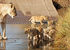 Lion supermom coaxing seven cubs across a stream in Kruger National Park, South Africa   by Dee Roelofsz