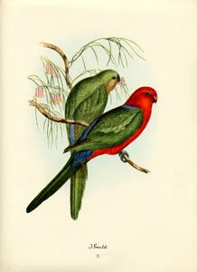 John Gould bird print, circa 1930-1940