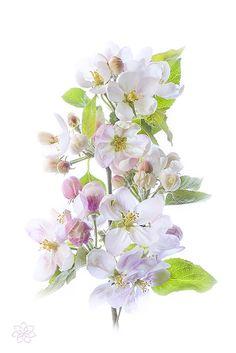 Photograph Apple Blossom by Jacky Parker on 500px