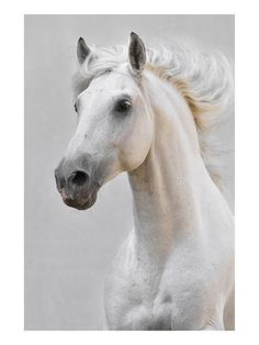 size: Premium Giclee Print: White Horse Stallion : Artists Printed on thick, premium watercolor paper, this stunning print was made using a giclée printing process that delivers pure, rich color and remarkable detail. Horse Face, Horse Head, White Horses, White Horse Images, Tier Fotos, Painting Edges, Horse Photography, Print Artist, Stretched Canvas Prints