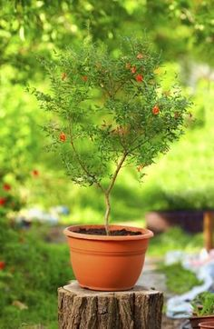 Container Grown Pomegranate Trees: Tips On Growing A Pomegranate In A Pot - Pomegranates are delicious and high in antioxidants, leading many to try their hands at pomegranate growing. If this includes you, the following article includes info on caring for pomegranate plants with an emphasis on indoor pomegranate trees in containers.
