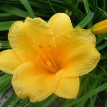 How to correctly deadhead Stella de Oro daylilies and other re-blooming daylilies to keep them flowering continuously throughout the growing season. Best Perennials, Flowers Perennials, Planting Flowers, Flowers Garden, Flower Gardening, Outdoor Plants, Garden Plants, Hosta Plants, Garden Shade
