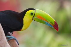 Keel-Billed Toucan on finca (farm) in central Costa Rica--a toucan is not a parrot.  Toucans, Woodpeckers, and barbets are in the order piciformes.