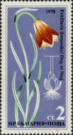 Fritillaria drenovskyi Deg. Et Stoj. BULGARIA 27/06/1978