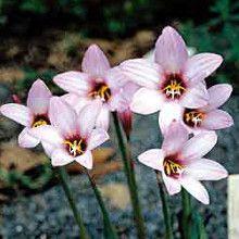 Habranthus x floryi Purple Base (Avent)