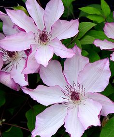 Klehm's Song Sparrow Farm and Nursery--Clematis--'Omoshiro', 6-8', zones 4-9, early-mid summer and late summer, 5-7 inch blooms.