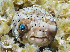 Pufferfish, Cozumel 2014 - Mike Meacher Photography