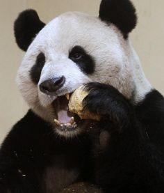 Panda bite - photo#8