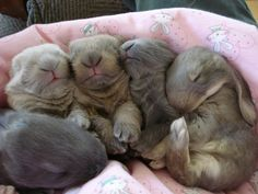 Baby English Lop bunny babies that belong to a friend! Just way too cute!!