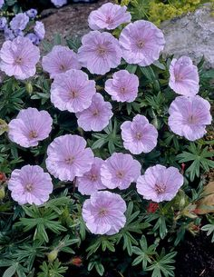 Neidonkurjenpolvi - Viherpeukalot Large Flowers, Colorful Flowers, Pink Perennials, Geraniums, Fall Season, Pastel Colors, Different Colors, Spring, Seasons