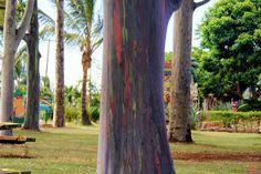10 Amazing Nature Pictures - Rainbow Eucalyptus trees in Kailua, Hawaii.