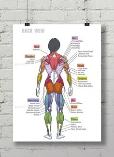 Buy Women Muscle Anatomy Сhart by Maxim_Andreev on GraphicRiver. Bodybuilding Women Muscle Anatomy Chart , illustration or can be used as poster in the gym. Anatomy Back, Body Anatomy, Stomach Muscles, Core Muscles, Back Muscles, Abs And Obliques Workout, Full Body Hiit Workout, Workout Diary, Human Body